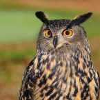 european-eagle-owl-2010346_1920
